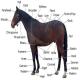 صفات مطلوب در ارزیابی اسب