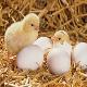 مدیریت پرورش در مزارع جوجههای گوشتی