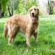 سگ گلدن رتریور (Golden Retriever)
