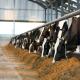 کاهش تنش حرارتی گاوهای شيری با متعادل كردن جيره و خوراک دام