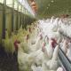 افزودنی های غذایی ایده ای جدید جهت بهبود ارزش غذایی و راندمان تولید در صنعت طیور