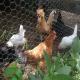 نژادهای شاخص مرغ و خروس بومی ایرانی