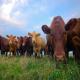 آنتی بیوتیک های غذایی در تغذیه دام