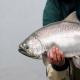 بررسی صادرات ماهی سالمون (آزاد) از نروژ به ایران