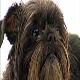 سگ نژاد آفن پینچر (Affenpinscher)