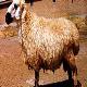معرفی نژاد گوسفند بلوچی