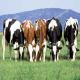 کنسانترههای انرژیدار(دانهها و ضایعات کارخانهجات) در تغذیه گاو شیری