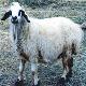 آشنایی با نژاد گوسفند بهمنی