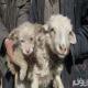 گوسفندی که توله سگ به دنیا آورد