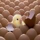 صادرات تخممرغ و جوجه یکروزه از زنجان به کشورهای همسایه