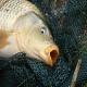 پرورش ماهیان گرمابی (بخش اول)