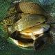 پرورش ماهیان گرمابی (بخش چهارم)