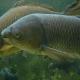 پرورش ماهیان گرمابی (بخش هشتم)