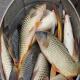 تغذیه دستی ماهیان با استفاده از فرمول های غذایی مناسب
