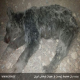 تصادفی که به مرگ خرس قهوه ای دالاهو منجر شد