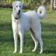 سگ نژاد آکباش (Akbash)