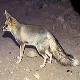 شناسایی شاه روباه در جنوب ایران