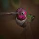 تصاویری زیبا از مرغ مگس خوار زنبوری