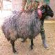 معرفی گوسفند زندی