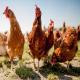 انواع نژاد مرغهای گوشتی با تصاویر