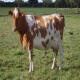 صد قانون کاربردی در تغذیه گاوهای شیری (بخش سوم)
