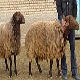 گوسفند کردی خراسان