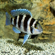 سیکلید پنج خط  (Tretocephalus Cichlid)