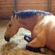 بیماری آبله در اسب