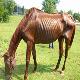 مطالعه و تشخیص علل کاهش وزن در اسب ها