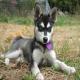 سگ  آلاسکن کلیکای (Alaskan Klee Kai)