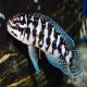 ماهی سیکلید جولی (Julie Cichlid)