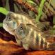 سیکلید کله شیری (Lionhead Cichlid)