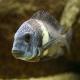ماهی سیکلید دوبوسی (tropheus duboisi)