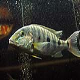 ماهی سیکلید امپراتور  (Emperor Cichlid)