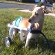 آشنایی با بیماریهای عضلانی- اسکلتی در سگها