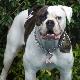 سگ بولداگ امریکایی (American Bulldog)