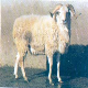 گوسفند تالشی