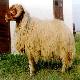 گوسفند عربی