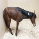 بیماری ازتوریا (azoturia) در اسب