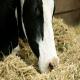 مصرف یولایف در خوراک دام های گوشتی