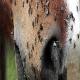 بیماری های قارچی و انگلی در اسب ها