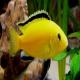 ماهی سیکلید ماکرو زرد (Lab Electric Yellow African Cichlid)