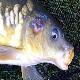 بیماریهای ماهیان گرمابی