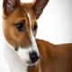سگ باسنجی (Basenji)
