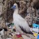 تا سال 2050 در معده 99درصد مرغان دریایی پلاستیک یافت می شود