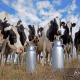 تاوان کنترل قیمت لبنیات از جیب دامداران!