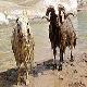 گوسفند قشقایی