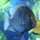 ماهی سیکلید موری (Moorii Cichlid)