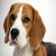 سگ بیگل (Beagle)