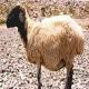 گوسفند کرمانی